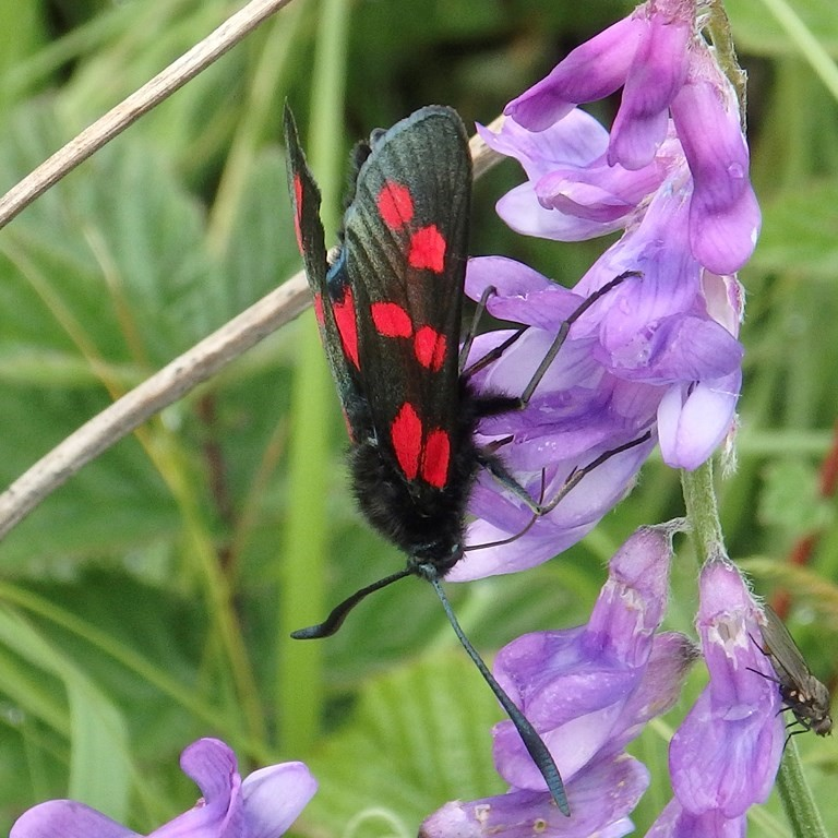 Did You Know Photo Six Spot Burnet Moth Credit RSPB Images