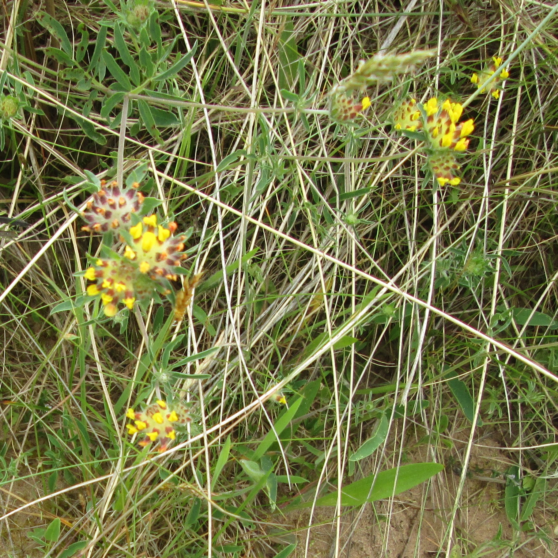 Irvine Beach Park Kidney Vetch