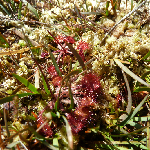 Round Leaved Sundew Did You Know